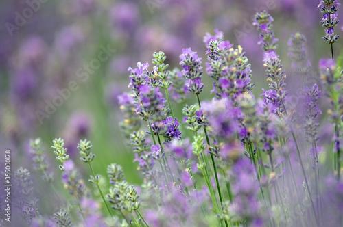 Kwiaty lawenda na pastelowym rozmytym tle - 355000178