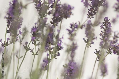 Kwiaty lawenda na pastelowym rozmytym tle - 355000764