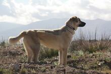 Skyline Portrait Of Anatolian Shepherd Dog With Mountain Backdrop In Open Field.