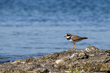 Common Ringed Plover On The Rock