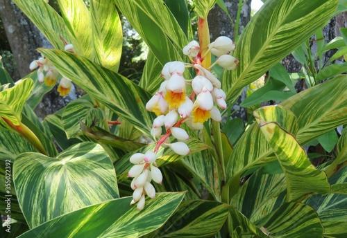 Photo Flowering alpinia zerumbet plant