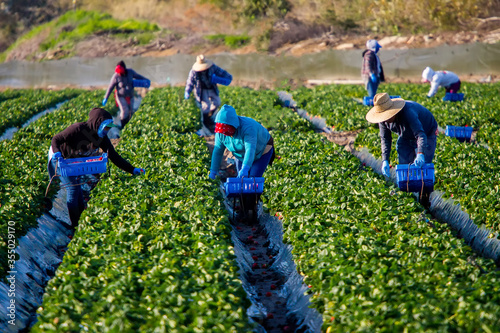 Canvas-taulu Migrant Field Workers in colorful clothes in a strawberry field
