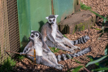 Lemurs Chilling Out In The Sun...