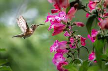Rufous Hummingbird Tongue