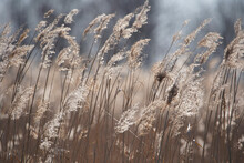Dry Reeds At The Lake, Reeds, Reeds. Golden Reeds In The Sun In Autumn. Abstract Natural Background.