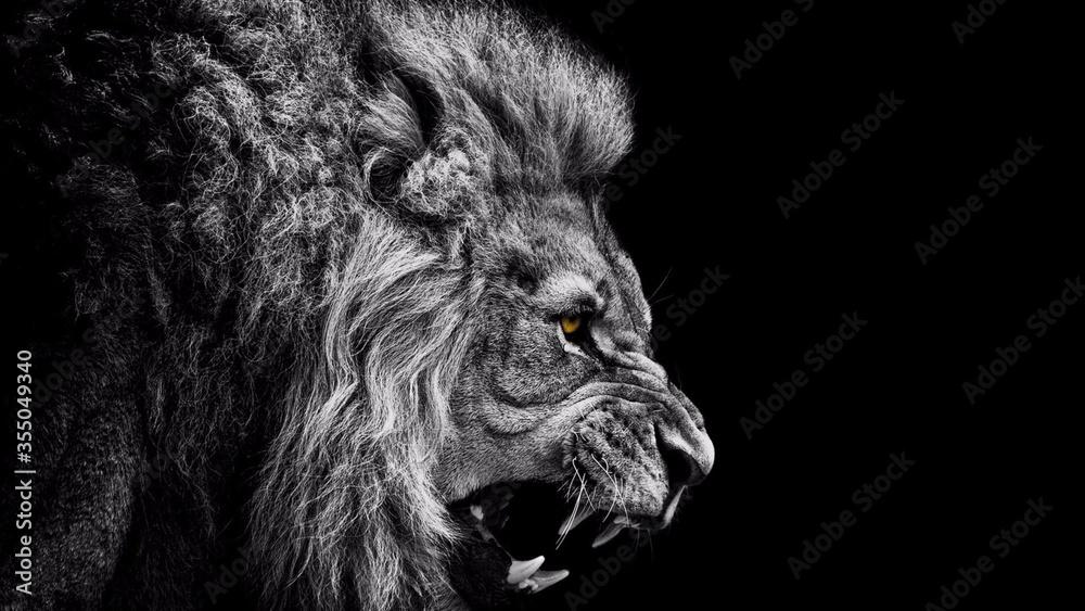 Fototapeta lion on black background