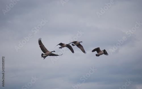 Valokuvatapetti Gaggle of Canadian Geese Migrating Dream-Like Background