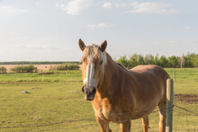 Front View Of A Light Coloured Golden Horse In The Evening Sunlight