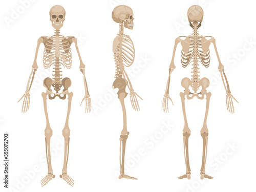 Tela Human skeleton in front, back and profile