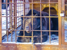 Bear Yearns In A Cage Waiting ...