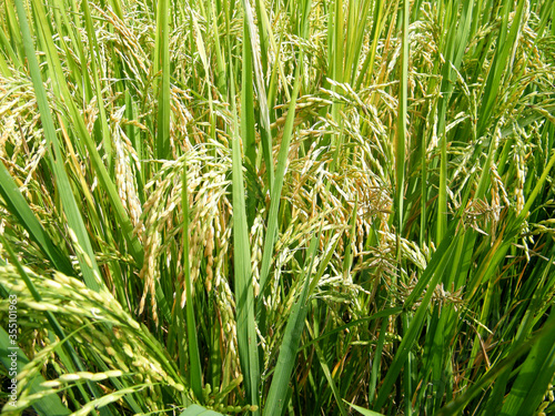 Fotografie, Obraz Rice paddy field with just before harvest