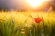 Poppy flowers in the sun.