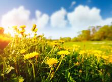 Fresh Field With Yellow Dandel...