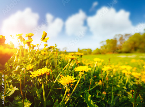 Fresh field with yellow dandelions in bright sunny day. Fotobehang
