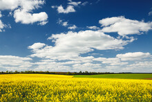 Yellow Canola Field And And Fl...
