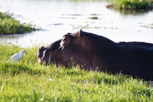 Hippo Lying Partly In The Water And On The Grass With A White Bird In Front Of The Head.