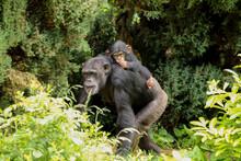 A Mother Chimpanzee Walking Al...