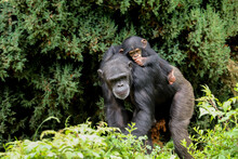 A Mother Chimpanzee Walking Al...
