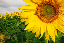 Honey Bee On Sunflower. A View From Sunflower Field