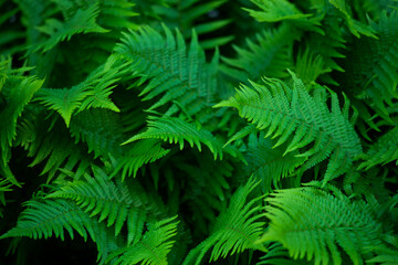 Zielone liście paproci w lesie