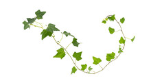 Branch Of Green Ivy On A White...