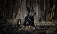 Black German Shepherd Dog In T...