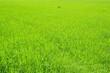 Leinwandbild Motiv green wheat field