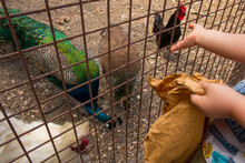 Chicken And Peacocks In Cage