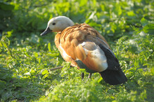 Profile Ruddy Shelduck, Tadorna Ferruginea, Walking