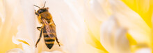 Honey Bee On Bright White Yell...