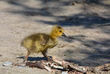 Baby Canada Goose Gosling Walks Along Sandy Beach