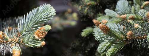 Photographie image of a conifer in a forest closeup