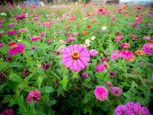 Pink Dahlia Daytime Flowers Bl...