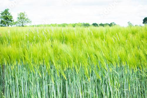 Fototapeta zboże zboża kłos pszenica jęczmień pole rolnictwo zielony obraz