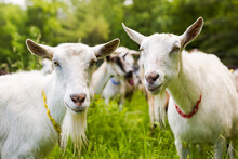 White Goats In A Pasture.