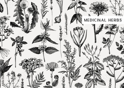 Fototapeta Hand drawn medicinal herbs banner design. Vector flowers, weeds and meadows sketches. Vintage summer plants template. Botanical background with floral elements in engraved style. Herbs outlines obraz