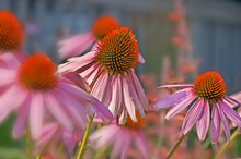 Echinacea Pallida, Commonly Kn...