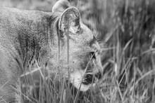 Cougar Big Strong Wild Cat Ani...