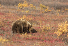 Grizzly Bear On The Tundra In Denali National Park Alaska In Autumn