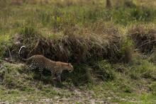 Leopard Decending Down A River Channel At Masai Mara, Keny