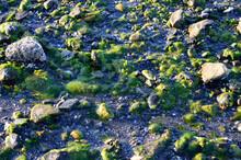 Green Algae On Seashore