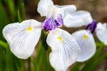 Purple, Yellow & White Iris 2