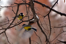 Two Tit Birds On A Tree Branch