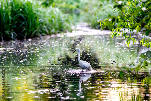 Little Egret hunting for Supper Canvas Print