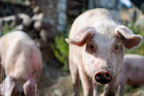 Pig portrait at free range organic pig farm -  pig in countryside agriculture wi Fototapete