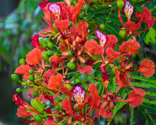 Royal Poinciana Flame Tree, Red Poinciana Flowers, Flowering Flame Tree, Tropical Red Flowering Tree, Green Leaves, Exotic Flowering Tree, Travel Destination
