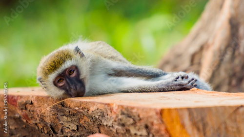 Playfull Monkey on the ground Tablou Canvas