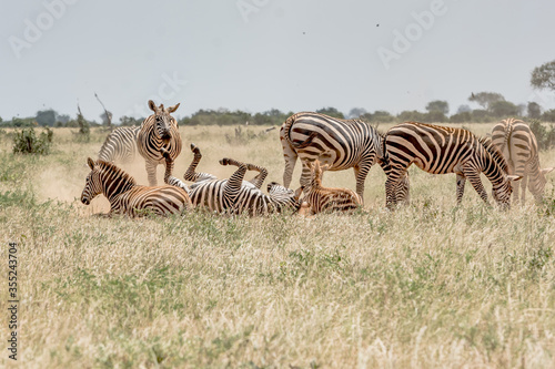 Fotografia, Obraz Zebras lying on the ground covered with dust while the other Zebras watches