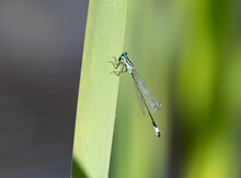 Azure Damselfly On A Reed