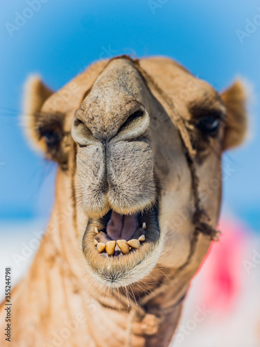 A close up of the face of a smiling Camels Canvas Print